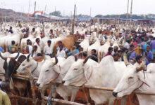 Photo of সিটিহাটে ভারতীয় গরু, দেশী গরুর দাম নেই